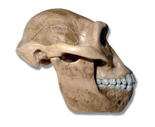 Australopithecus Afarensisafarensis