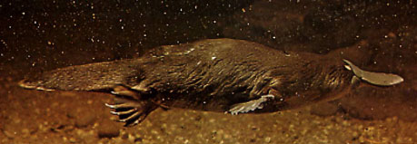 PHOTO - Duck-billed Platypus