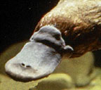 Duck-bill (enlarged snout)